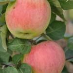 Obelis Avietinė