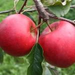 Obolių rūšis Bohemia
