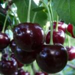 Vyšnia Vytėnų Žvaigždė