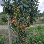 Obelis Koloninė Arbat