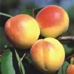 Raudonskruostis abrikosas